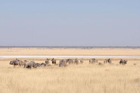 Blue Wildebeest herd grazing near Namutoni in Namibia Stock Photo