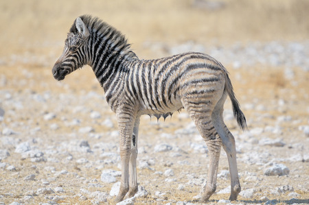 equid: A wet Zebra foal at Nebrownii in the Etosha National Park, Namibia Stock Photo