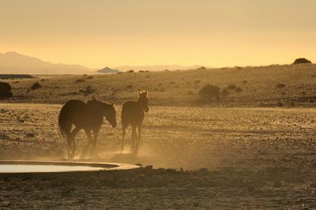 equid: Wild Horses of the Namib at sunset near Aus, Namibia.