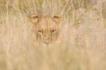 ライオン ナミビア ・ エトーシャ国立公園で草の中に隠れて