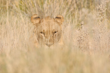 Lion hiding in the grass in the Etosha National Park, Namibia Stok Fotoğraf