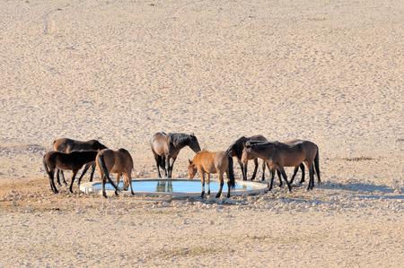 caballo bebe: Caballos salvajes del Namib