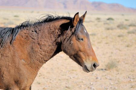 equid: Wild Horse of the Namib near Aus, Namibia.