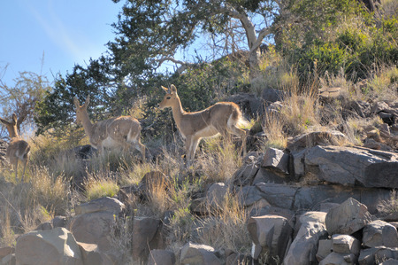 Mountain reedbuck in typical rocky environment next to the Orange River in South Africa Stock Photo