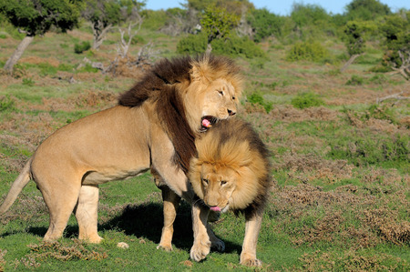 contractual: Two Kalahari lions, panthera leo, in the Kuzuko contractual area of the Addo Elephant National Park in South Africa Stock Photo