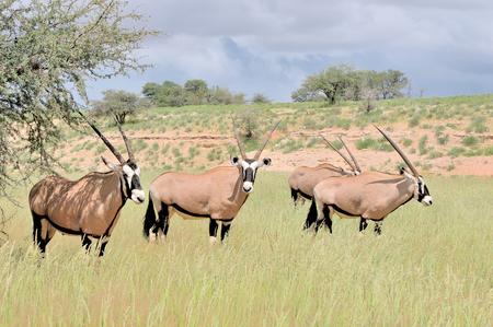 Oryx (Gemsbok) in the Kgalagadi Transfrontier Park, South Africa