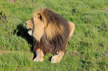 contractual: Kalahari lion showing mane in the Kuzuko contractual area of the Addo Elephant National Park in South Africa Stock Photo