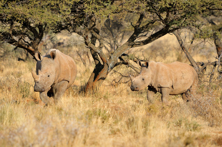 White rhino mother and calf in the Mokala National Park of South Africa photo