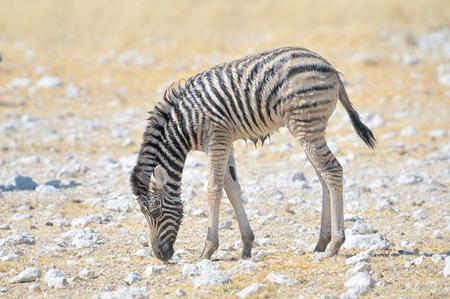Wet Zebra foal grazing at Nebrownii in the Etosha National Park, Namibia