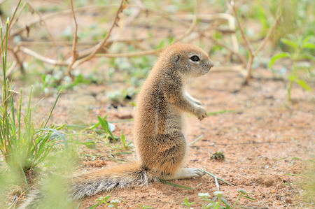 xerus inauris: Cape Ground Squirrel (Xerus Inauris). Photo taken at Mata Mata in the Kgalagadi Transfrontier Park, South Africa