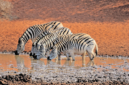 Zebras drinking water at the Haak en Steek waterhole in the Mokala National Park of South Africa Stok Fotoğraf