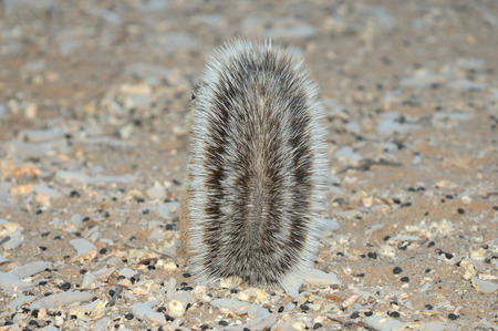 xerus inauris: Cape Ground Squirrel hiding behind tail. Photo taken at Mata Mata in the Kgalagadi Transfrontier Park, South Africa