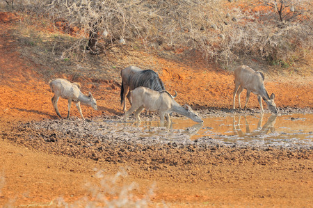 Blue Wildebeest and kudu at the Haak-en-Steek Waterhole, Mokala National Park, South Africa photo