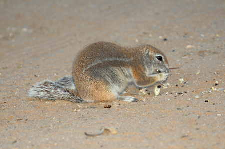 cape ground squirrel: Cape Ground Squirrel eating seeds of a camelthorn tree. Photo taken at Mata Mata in the Kgalagadi Transfrontier Park, South Africa Stock Photo