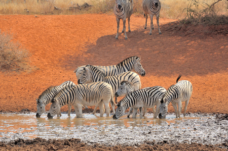 equid: Zebras drinking water at the Haak en Steek waterhole in the Mokala National Park of South Africa Stock Photo