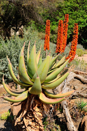 Bitter Aloe, Aloe ferox, with spiny yellow-green leaves Zdjęcie Seryjne