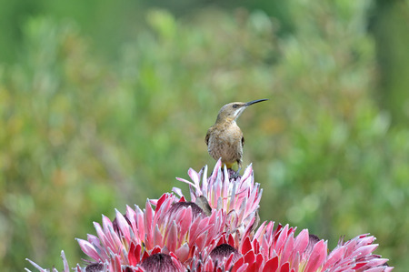 south african birds: Cape sugarbird on protea flower
