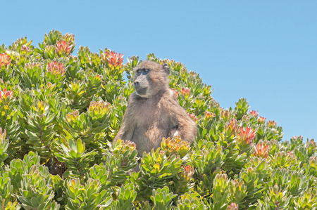 table mountain national park: Chacma baboon (Papio ursinus), also known as the Cape baboon, in a protea shrub at Cape Point in the Table Mountain National Park in Cape Town, South Africa.