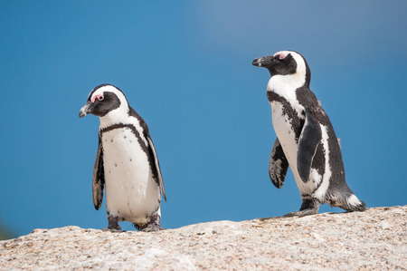 table mountain national park: African penguins (Spheniscus demersus), also known as jackass penguins or black-footed penguins at the Boulders section of the Table Mountain National Park at Simonstown in Cape Town, South Africa Stock Photo