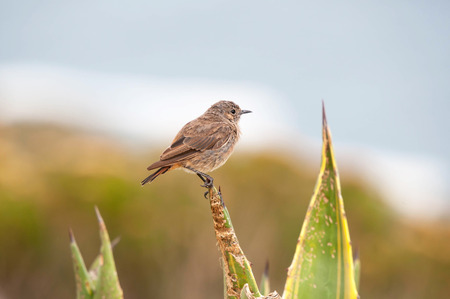 south african birds: An LBJ or Little Brown Job, as birds that are difficult to identify are known as, at Steenbras Dam pump station in Gordons Bay near Cape Town, South Africa. Stock Photo