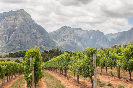 ステレンボッシュ南アフリカのウェスタン ケープ州近くのブドウ園のビュー。シモンスバーク山は、バック グラウンドで