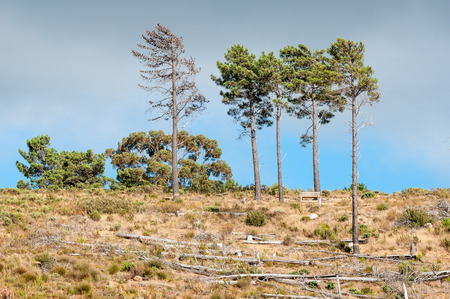 sir: Wooden bench next to pine trees near Sir Lowrys Pass in the Western Cape Province of South Africa