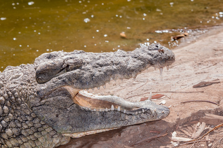 niloticus: Nile crocodile (Crocodylus niloticus) with open mouth showing teeth Stock Photo