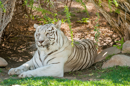 tigris: The white Tiger is a pigmentation variant of the Bengal tiger, Panthera tigris, the largest feline species