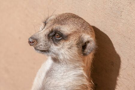 The meerkat or suricate, Suricata suricatta, is a small mammal belonging to the mongoose family.