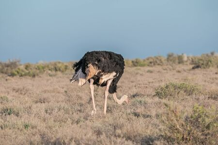 struthio camelus: Ostrich (Struthio camelus) in the Karoo National Park of South Africa