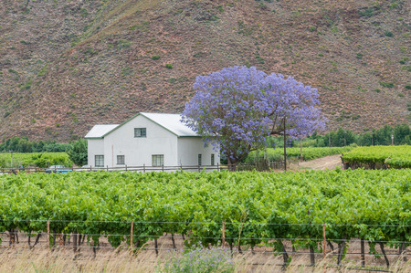 View of a farm house and vineyards in the Hex River Valley Stok Fotoğraf