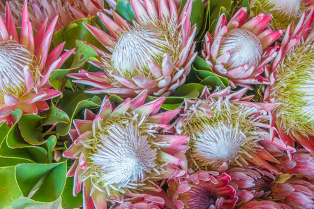 Protea cynaroides, the king protea, giant protea, honeypot or king sugar bush, a woody shrub of the winter rainfall area of the Western Cape Province of South Africa. Flowers up to 300 mm in diameter Stok Fotoğraf - 38721396