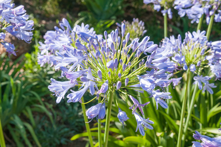 Agapanthus africanus, a plant species indigenous to South Africa Stok Fotoğraf - 38721400