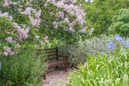 newlands: Rustic bench beneath a flowering Cape Chestnut tree in the Kirstenbosch National Botanical Gardens