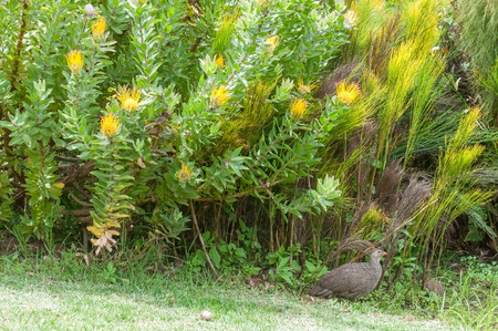 newlands: Cape spurfowl or Cape francolin, Pternistis capensis, underneath a yellow pincushion shrub in the Kirstenbosch National Botanical Gardens