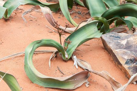 newlands: Welwitschia mirabilis, a monotypic gymnosperm from the arid western parts of northern Namibia and southern Angola. Grows only two leaves during its life of more than two thousand years Stock Photo