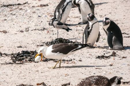 table mountain national park: A Gull stealing the egg of an endangered African Penguin at the Boulders section of the Table Mountain National Park in Simons Town Stock Photo
