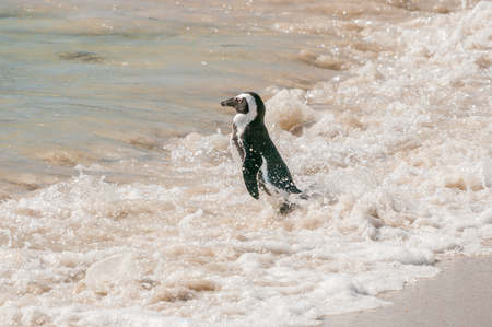 south african birds: The Boulders section of the Table Mountain National Park in Simons Town is home to a land-based colony of endangered African Penguins. Stock Photo