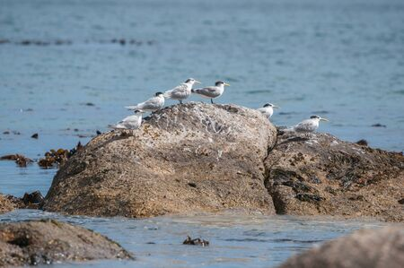 table mountain national park: Swift Terns at the Boulders section of the Table Mountain National Park in Simons Town, the home of a land-based colony of endangered African Penguins. Stock Photo