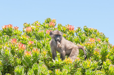 table mountain national park: Chacma baboon Papio ursinus also known as the Cape baboon in a protea shrub at Cape Point in the Table Mountain National Park in Cape Town South Africa.