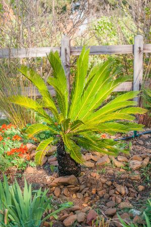 sir: A Cycad in a garden near Sir Lowrys Pass South Africa