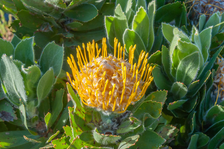protea flower: Yellow pincushion protea flower Stock Photo