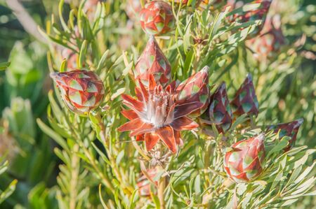 Flower and cones of a protea plant Stock Photo