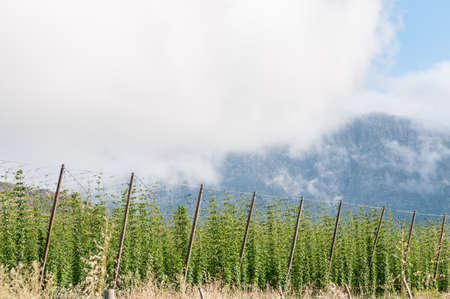 Hops growing near Herold a small village at the top of the Montagu Pass. The Outeniqua Mountains are in the back Stock Photo