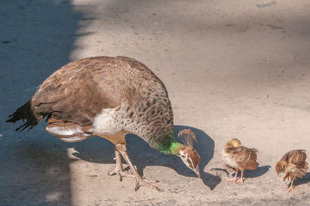 peahen: Two Peachicks and Peahen. A peachick  is the offspring of a Peacock and a Peahen