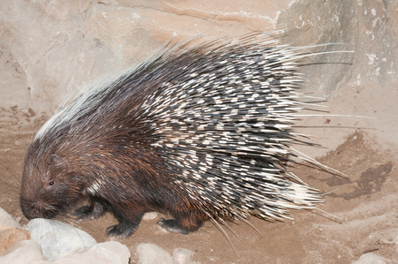 The Cape porcupine or South African porcupine Hystrix africaeaustralis is native to central and southern Africa. Stock Photo