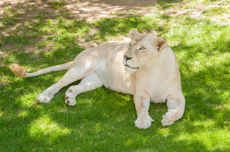 african lion: The white lion is a rare color mutation of the African Lion Panthera leo krugeri originally from the Timbavati area of South Africa