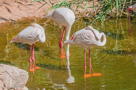 Greater Flamingo Phoenicopterus ruber roseus has pink feathers and black tipped wings with a very long neck pink legs and webbed pink feet. They stand up to 150cm high and can weigh up to 3kg