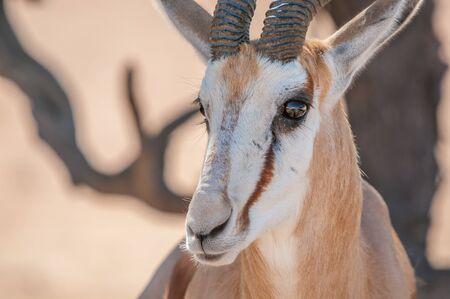 springbok: Close-up of a springbok face in the Kgalagadi Transfrontier Park in South Africa