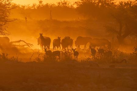 springbok: Zebras and springbok walking into a dusty sunset at the waterhole at Okaukeujo in the Etosha National Park